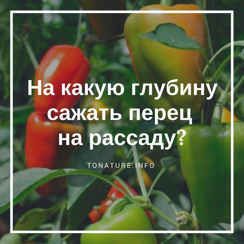 Перец болгарский выращивание и уход в открытом грунте и теплице, фото