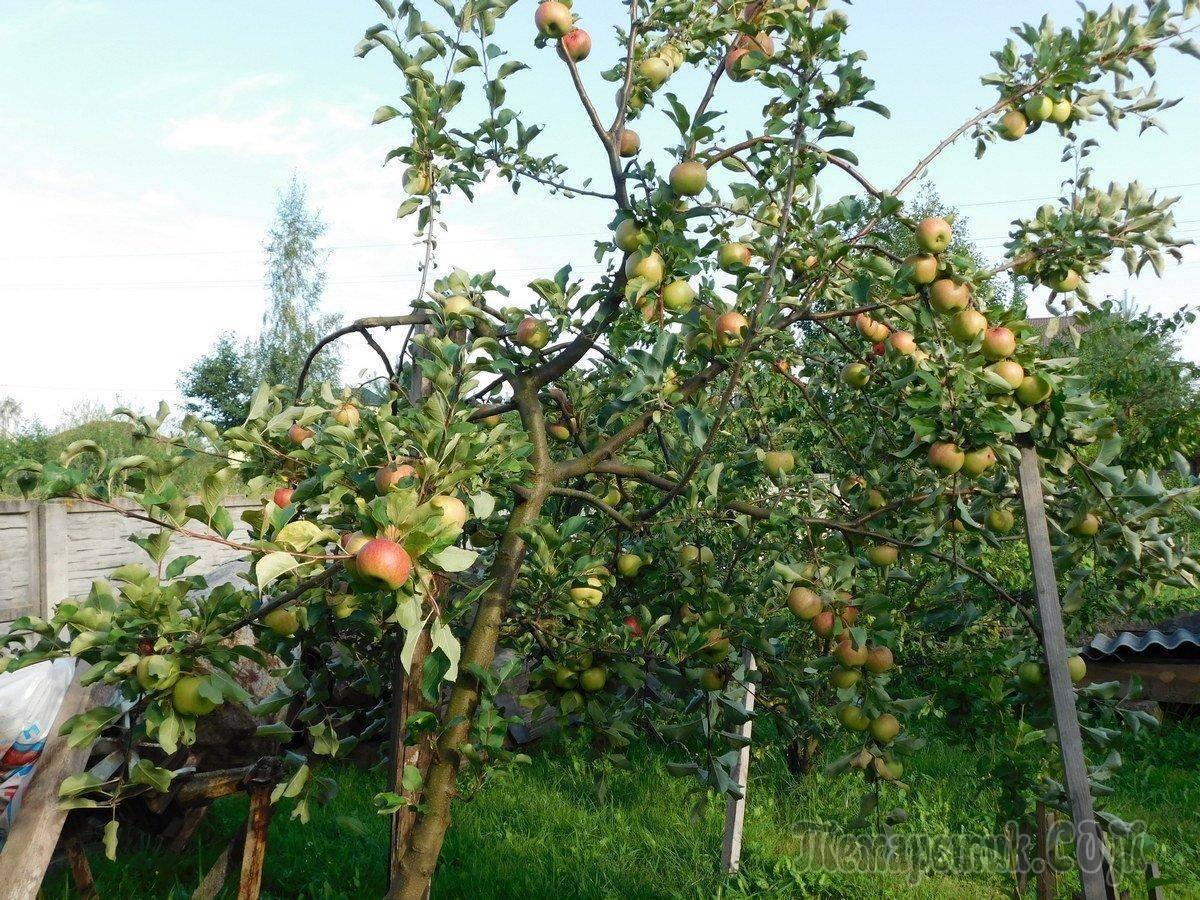 Уход за яблоней осенью: подготовка к зиме + видео