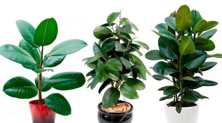 Каучуконосный фикус: выращивание и размножение дома
