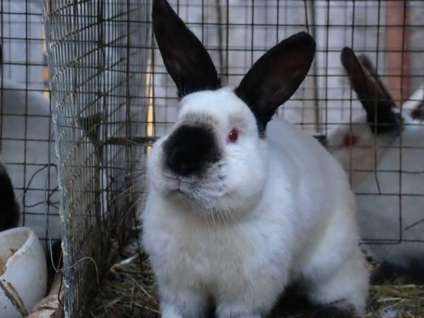 Калифорнийский кролик описание породы