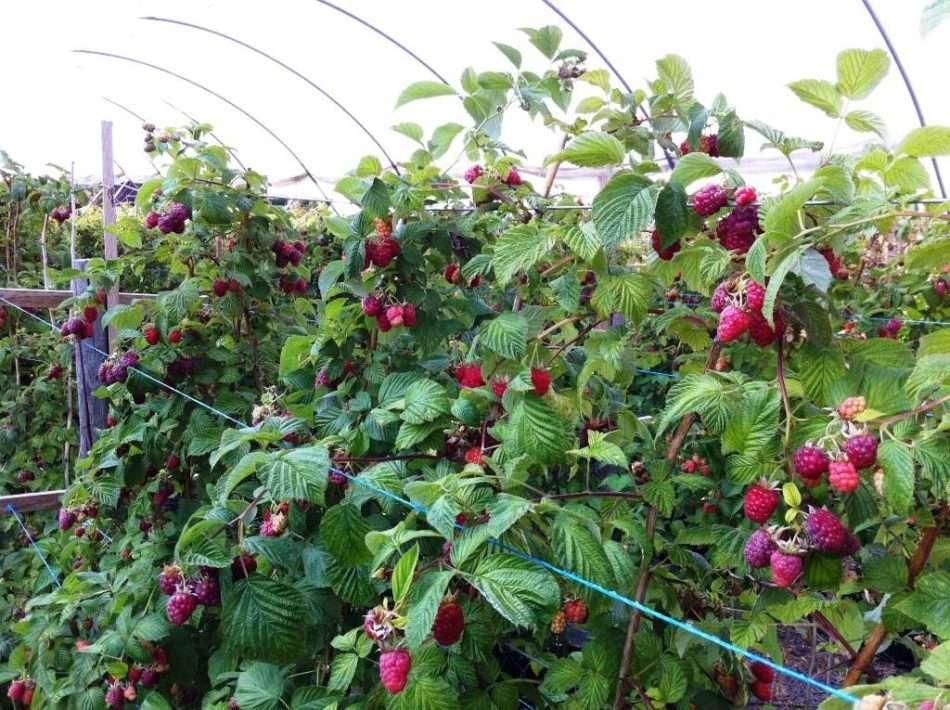 Посадка малины в открытый грунт весной и осенью