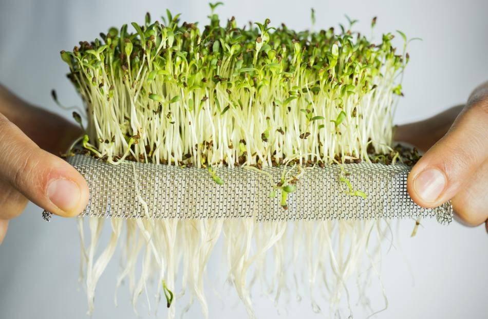 Как вырастить ростки брокколи - wikihow