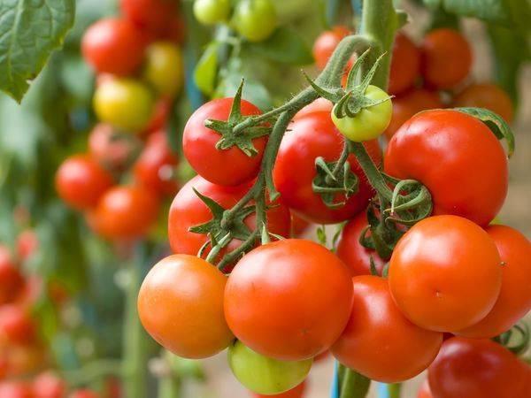 Что сажать после помидор: разрешенные и запрещенные культуры