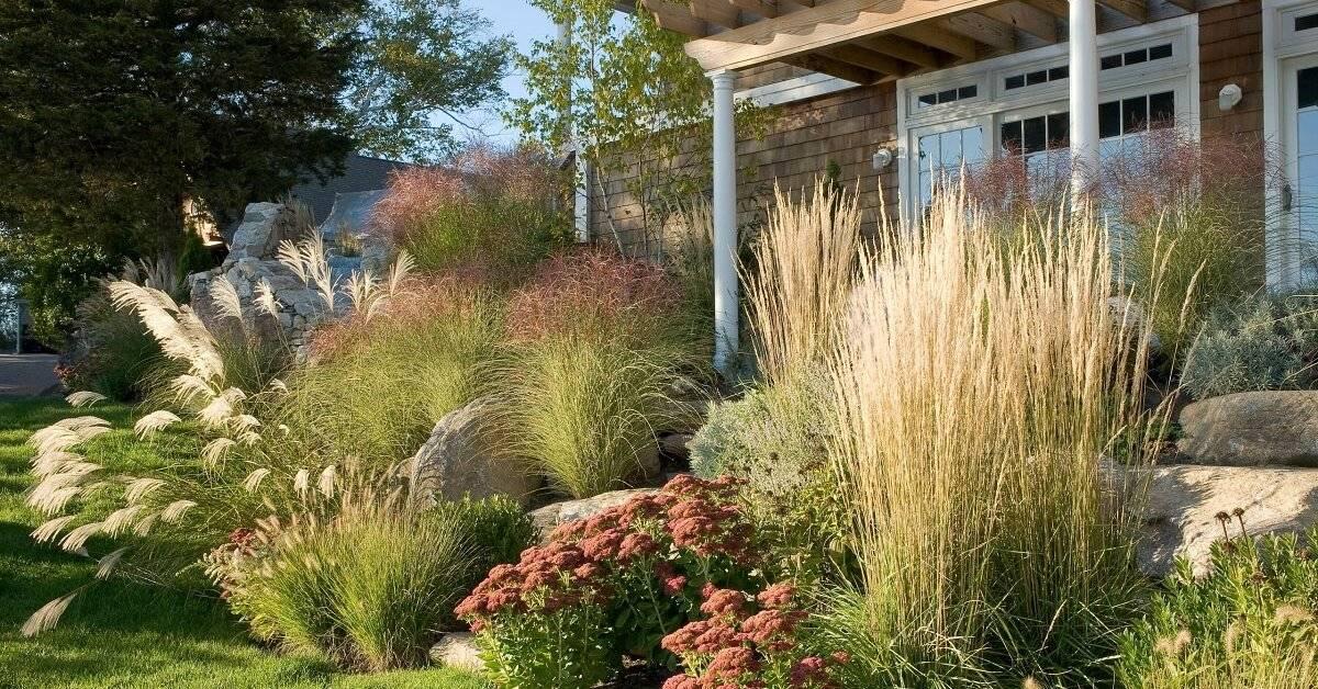 Встречайте королеву степей на своём участке: правила ухода за пампасной травой