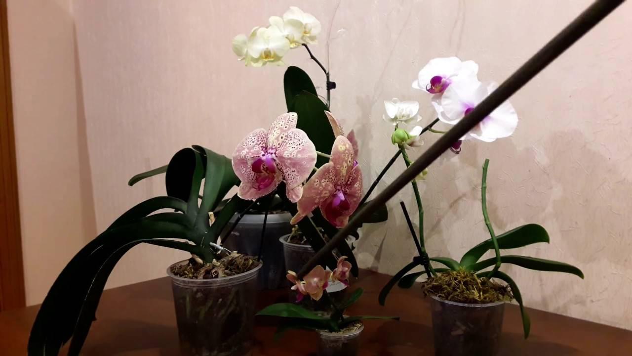 Когда лучше пересаживать орхидею фаленопсис в домашних условиях и как часто нужно это делать?