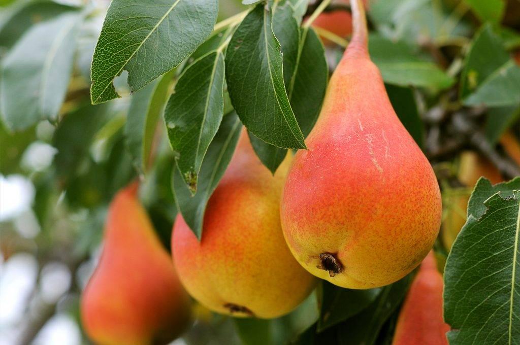 Описание груши сорта нарядная ефимова и особенности выращивания - всё про сады
