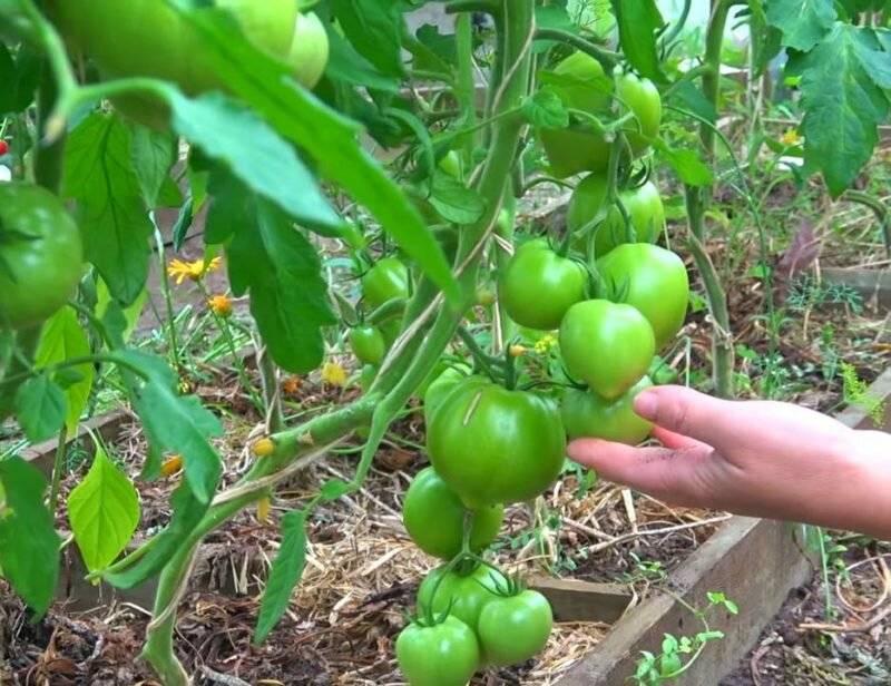 Подкормка томатов: когда и чем подкармливать помидоры