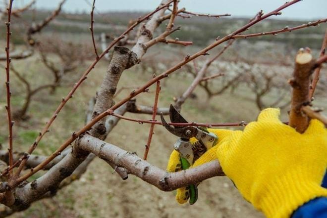 Правила обрезки яблонь весной