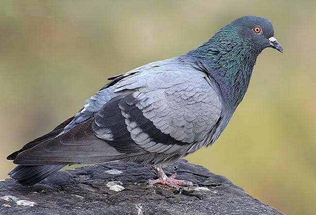 Как приготовить голубей в домашних условиях: описание - сельская жизнь