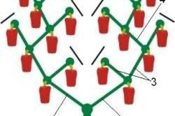 Как правильно формировать сладкий перец? формирование куста перца в теплице и открытом грунте. фото — ботаничка.ru