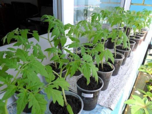 Пикировка рассады томатов: когда и как правильно проводить