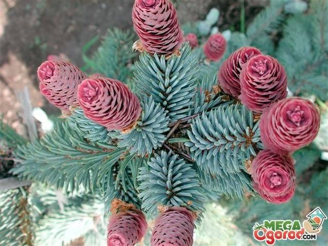 Ель: посадка и уход, выращивание зимой и осенью, виды и сорта, фото