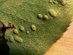 Как бороться с галловым клещом на груше: методы борьбы с вредителем