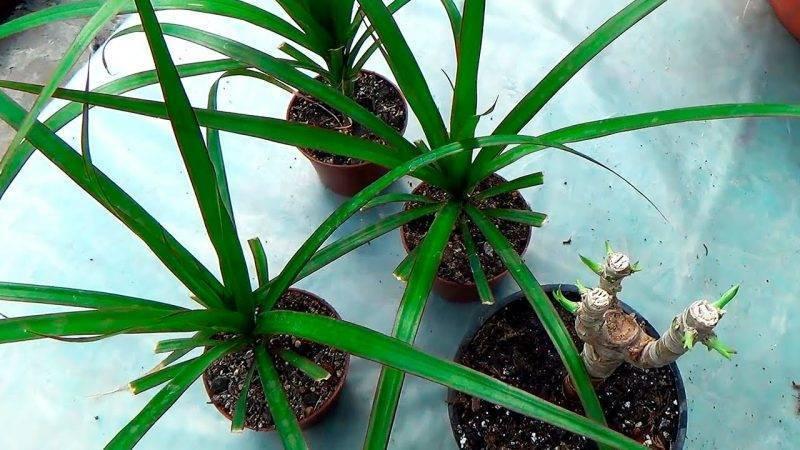 Дерево счастья с ароматом летнего сенокоса — драцена душистая или фрагранс