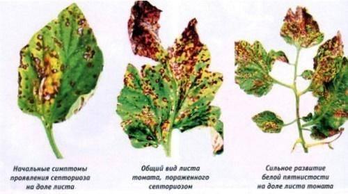 Септориоз томатов: цикл развития, описание признаков белой пятнистости на листьях помидоров, фото растений, методы лечения и как бороться с инфекцией на рассаде?