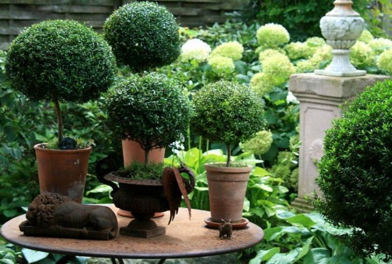 Миртовое дерево: уход в домашних условиях, полезные свойства, фото растения