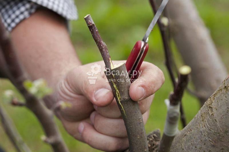 Как прививать плодовые деревья: лучшие способы и советы по прививке