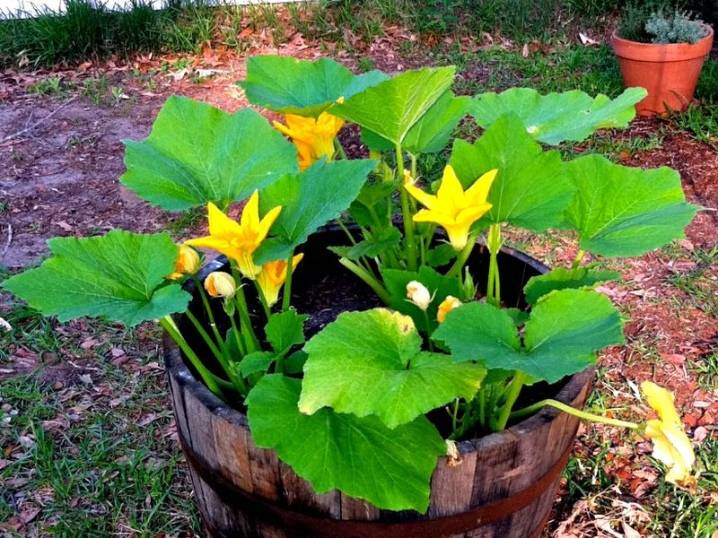 ✅ кабачки в мешках, выращивание в бочках, пошаговая инструкция по выращиванию - tehnomir32.ru