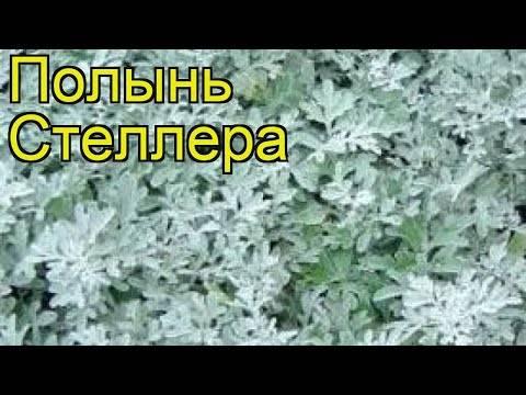 Полынь людовика: фото, выращивание, уход