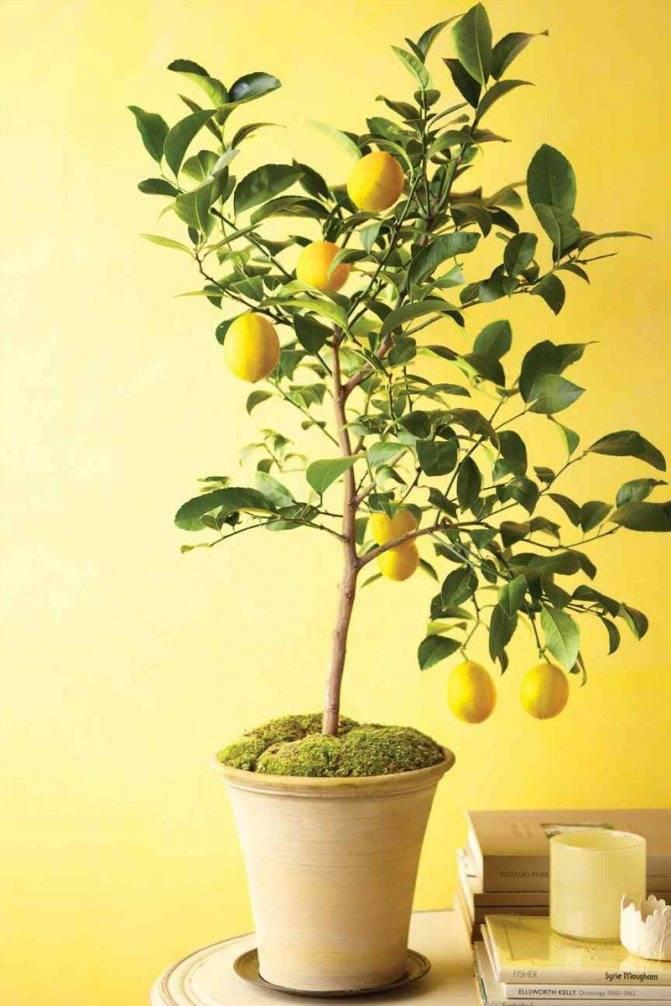 Можно ли привить лимон, чтобы он плодоносил в домашних условиях или открытом грунте и как это сделать правильно?