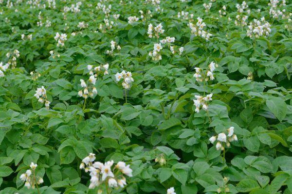 Не цветет картофель: причины, что нужно делать, будет ли урожай