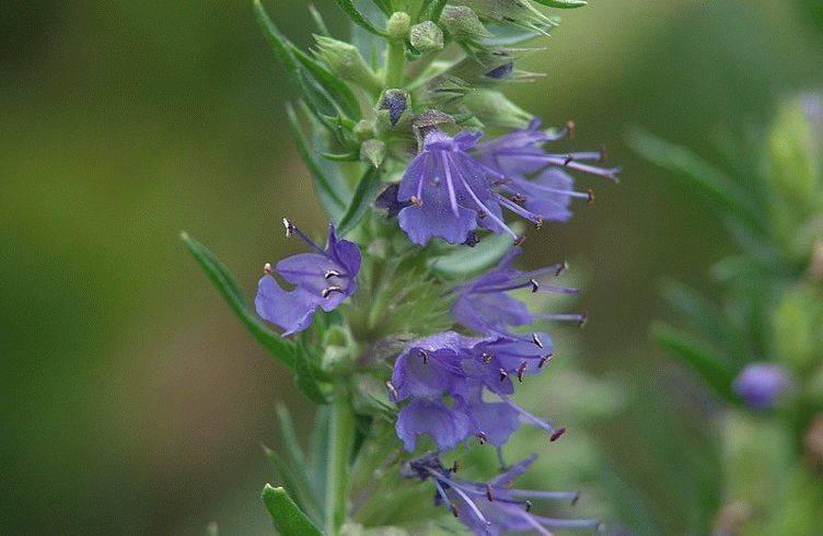 Иссоп— цветок для засушливых клумб