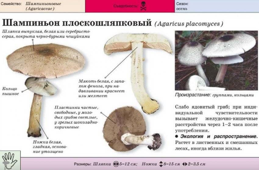 50 фото разных видов гриба «шампиньон полевой», ? названия, описания, как отличить