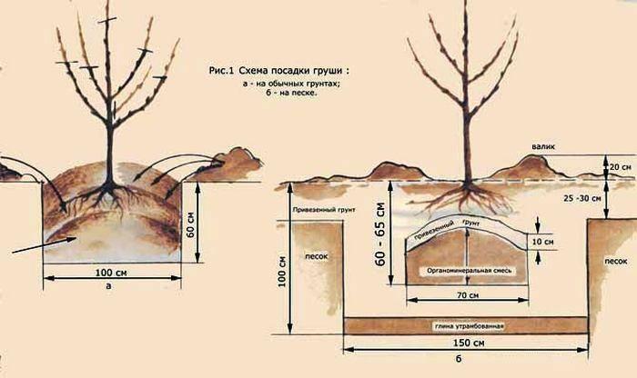Как выращивать груши в подмосковье