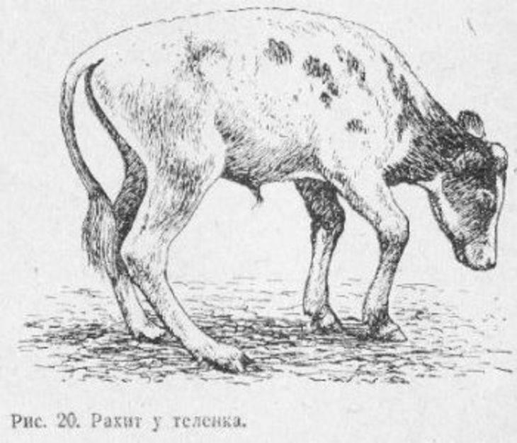 Геморрагический гастроэнтерит у крс. гастроэнтерит у теленка