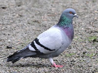 Как размножаются голуби в дикой природе и в голубятне
