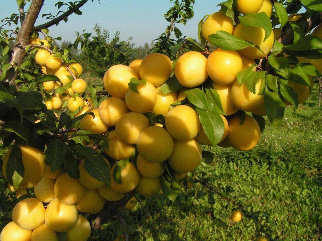 Желтая самоплодная слива: описание сорта, фото, отзывы