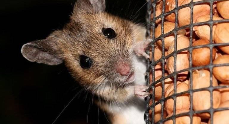 Как избавиться от крыс в курятнике: народные советы
