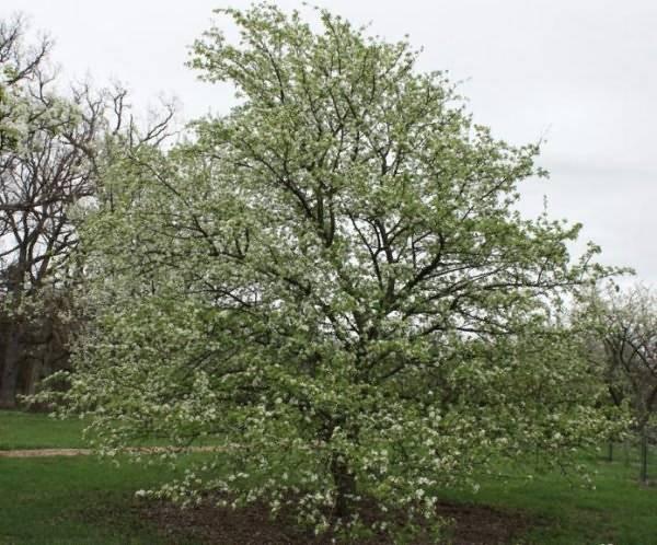 Как ухаживать за грушей весной — selok.info