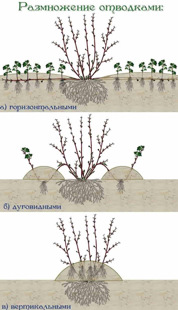 Вырастить боярышник из семян в домашних условиях - ваша дача