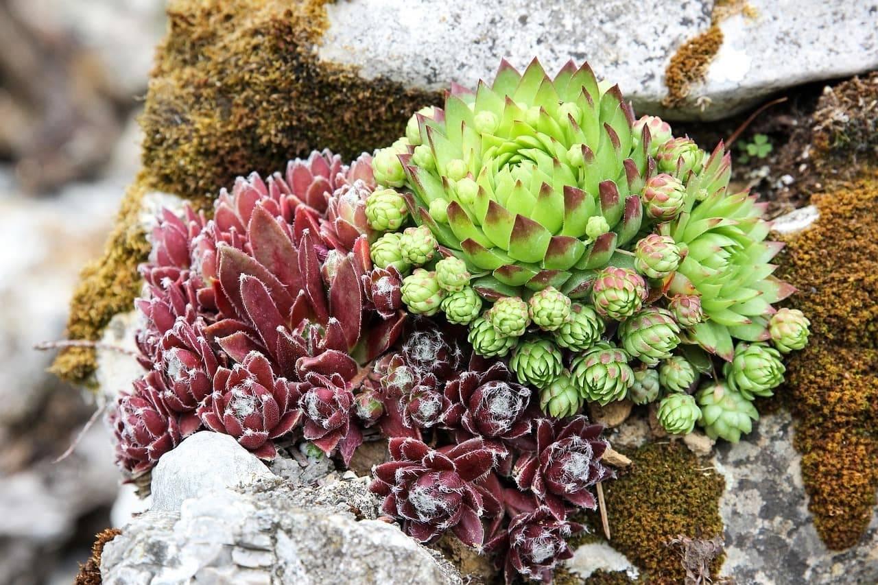 Размножение седума: как размножить очиток черенками и листом осенью и летом в домашних условиях? правила черенкования