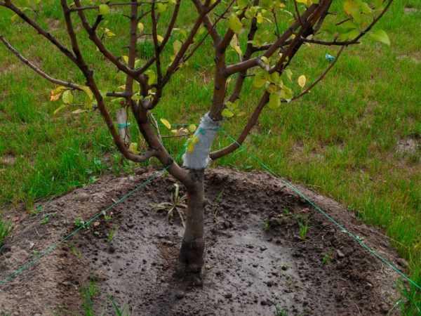 Как привить яблоню весной пошагово, видео уроки по прививке