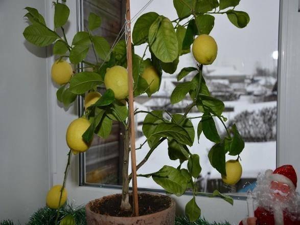 Лимон мейера — уход в домашних условиях за сортом