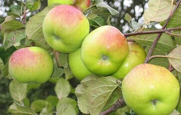 Сорт яблони ветеран: описание и фото, основные характеристики и особенности выращивания selo.guru — интернет портал о сельском хозяйстве