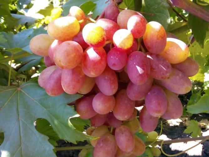 Сорт виноград зарница