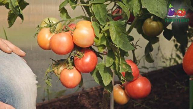 Как выбрать томаты для выращивания и употребления. 5 способов повысить урожай томатов