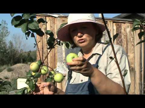 Яблоня чудное: описание сорта, преимущества и уход за деревом