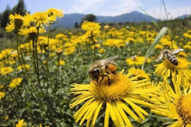 Медоносные растения: об интересном и полезном пчеловодстве