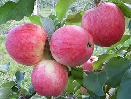 Яблоня сладкая нега: описание сорта, фото, отзывы — selok.info