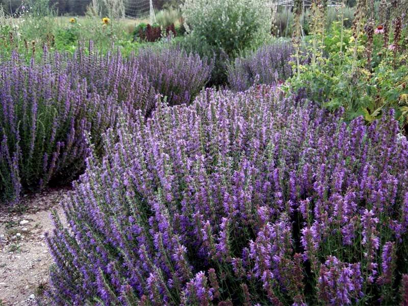 Иссоп: выращивание, применение, посадка и полезнеы свойства
