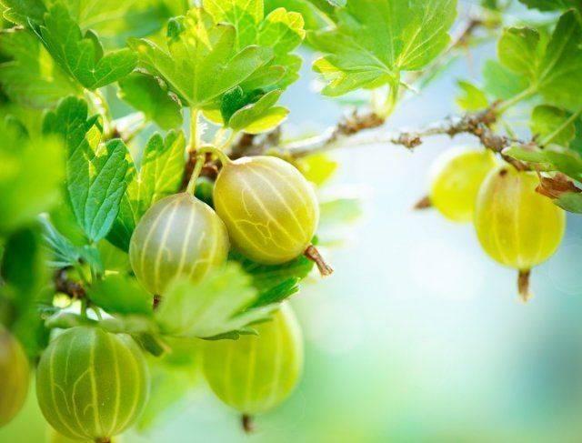 Подкормка смородины весной: чем удобрить