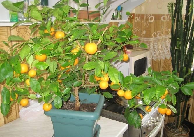 Апельсиновое дерево: уход в домашних условиях, выращивание из косточки, фото