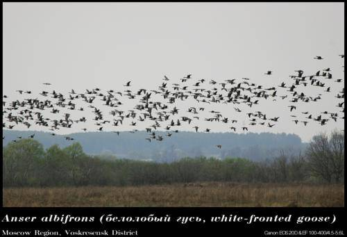 Охота на гуся: подробный обзор гусиной охоты, фото, видео