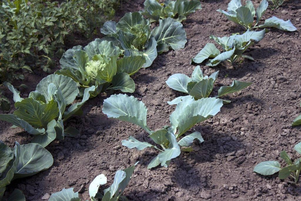 Правила посадки поздней капусты в открытый грунт
