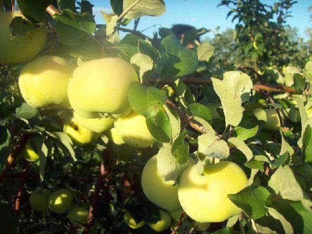 ✅ яблоня сладкая нега: описание и характеристика, плюсы и минусы сорта, посадочные работы и уход, фото - tehnoyug.com
