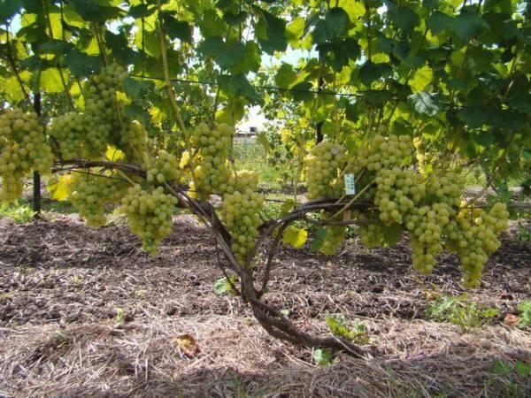 Описание сорта винограда лора: фото и отзывы, урожайность